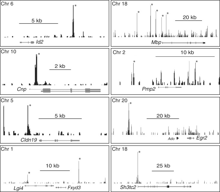 ChIP-Seq analysis of SOX10 binding. Binding profiles of SOX10 at selected loci are shown. Those peaks marked with an asterisk were identified as statistically significant relative to sequenced ChIP input data. Peak coordinates are listed in Supplementary Table S2 . All genes shown are reduced in microarray analysis of S16 cells treated with Sox10 siRNA ( Supplementary Table S5 ).