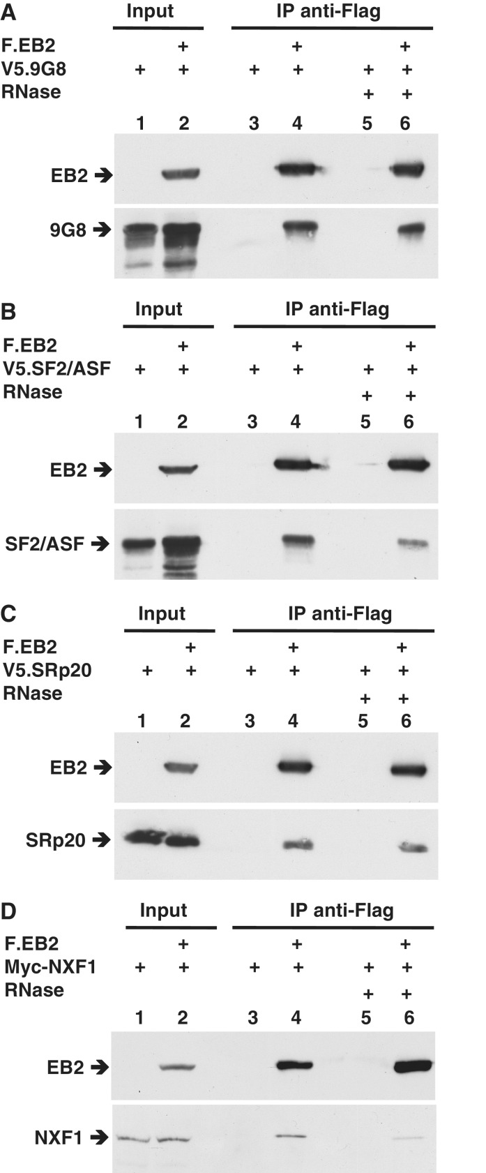 SRp20, 9G8 and SF2/ASF coimmunoprecipitate with EB2. V5-tagged 9G8 ( A ), V5-tagged SF2/ASF ( B ), V5-tagged SRp20 ( C ) or c-Myc-tagged NXF1 ( D ) were expressed by transient transfection in HEK293T cells either alone or together with Flag-tagged EB2. Lysates were prepared and immunoprecipitations performed using an M2 anti-Flag mAb affinity gel in presence or absence of RNAse. The immunoprecipitated complexes were then analysed by western blotting using an anti-Flag polyclonal antibody to visualize EB2, an anti-V5 polyclonal antibody to visualize 9G8, SF2/ASF and SRp20 or an anti-c-Myc monoclonal antibody for NXF1. The 'input' corresponds to 15% of the material present in the immunoprecipitated lysates.