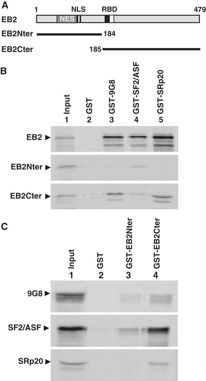 SRp20, 9G8 and SF2/ASF interacts with the C-terminal half of EB2 in vitro . ( A ) Schematic representation of the EB2 protein. The light gray box represents the nuclear export domain (NES) previously identified in the protein, the dark gray box, the RNA-binding domain (RBD), the white box, the REF interacting domain and the two vertical bars the Nuclear Localization Signals (NLS). Below, the C-terminal and N-terminal deletion mutants (EB2Nter and EB2Cter respectively) are represented. ( B ) 35 S-labelled EB2, EB2Nter or EB2Cter were incubated with purified GST, GST–9G8, GST–SF2/ASF or GST–SRp20 bound to glutathione sepharose beads. The bound proteins were analysed by SDS–PAGE and visualized by autoradiography. In lane 1, the equivalent of one-fifth of the EB2-, EB2Nter- or EB2Cter-expressing rabbit reticulocyte lysate used in each assay was loaded onto the gel. ( C ) 35 S-labelled 9G8, SF2/ASF or SRp20 were incubated with purified GST, GST–EB2Nter or GST–EB2Cter bound to glutathione sepharose beads. The bound proteins were analysed by SDS–PAGE and visualized by autoradiography. In lane 1, the equivalent of one-fifth of the 9G8-, SF2/ASF- or SRp20-expressing rabbit reticulocyte lysate used in each assay was loaded onto the gel.