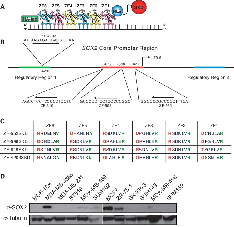 Design of ATFs to down-regulate SOX2 expression. ( A ) Schematic representation of a 6 ZF ATF bound to DNA with the orientation of the domains depicted. ( B ) Schematic illustration of the SOX2 promoter outlining the ZF-552SKD, ZF-598SKD, ZF-619SKD and ZF-4203SKD targeted sequences and their location relative to the transcription start site (TSS). Highlighted are the core promoter (red), regulatory region 1 (green), and regulatory region 2 (blue). Arrows show the orientation of the 18-bp binding site in the promoter (from 5′ to 3′). ( C ) Alpha-helical ZF amino acid sequences chosen to construct the ATFs. Residues at position –1, +3 and +6 making specific contacts with the recognition triplets are indicated in color (red refers to position –1, blue to position +3 and green to +6 of the ZF recognition helix). ( D ) Quantification of SOX2 expression in 12 breast cancer cell lines by western blot.