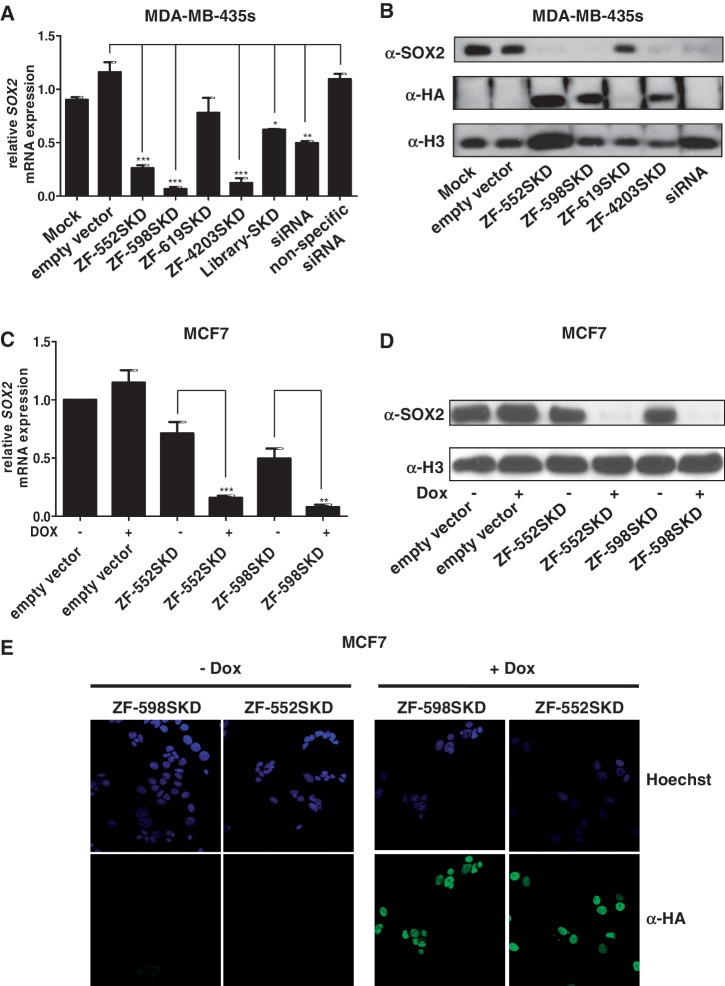 ATFs down-regulate SOX2 expression in MDA-MB-435s and MCF7 breast cancer cells. ( A ) Quantification of SOX2 mRNA expression by qRT-PCR in MDA-MB-435s cells. PMX-IRES-GFP (empty vector), ZF proteins –552SKD, –598SKD, –619SKD, –4203SKD, or a pool of 10 7 ZF domains [Library-SKD ( 48 )] were retrovirally delivered in the cells and total mRNA was extracted. Mock-treated cells (Mock) are also indicated as control. Real-time quantification of gene expression was normalized to empty vector control samples. As positive controls for knock-down, cells were transfected with an anti- SOX2 siRNA. A non-specific siRNA targeting another TF ( PATZ1 ) was used as a negative control for siRNA transfection. Error bars represent the standard deviation of three independent experiments. Statistical significance was analyzed using t -test (*** P