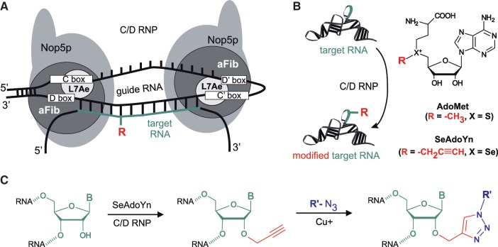 Archaeal C/D RNP-directed sequence-specific modification and labeling of target RNA. ( A ) Schematic structure of a C/D RNP complex with substrate RNA. Core proteins L7Ae, Nop5p and aFib are bound at the C/D and C′/D′ sites of a guide RNA. One of the variable guide sequences is shown base-paired to a target sequence (green) of a substrate RNA. Modification occurs at a nucleotide complementary to the fifth position upstream from the D box. ( B ) C/D RNP-directed transfer of an activated side chain (red) from a cofactor S -adenosyl- l -methionine (AdoMet, X=S and R=methyl) or its analog SeAdoYn (X=Se and R=prop-2-ynyl) onto an RNA substrate. ( C ) Two-step 'click' labeling of target RNA via a C/D RNP-directed alkynylation, followed by Cu(I)-assisted 1,3-cycloaddition of a fluorogenic azide derivative (blue).