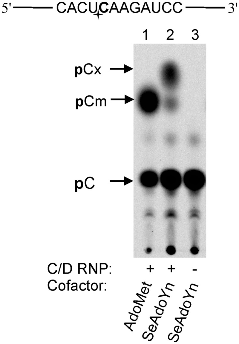 Formation of modified nucleotides in a 24-mer RNA oligonucleotide incubated with the C/D sR47 RNP in the presence of cofactors AdoMet and SeAdoYn. The target sequence of the substrate oligonucleotide (top) contains a 33 P-labeled target nucleotide (shown in bold and an asterisk). Substrate oligonucleotide (1 μM) was incubated with 1 μM pre-assembled RNP and 50 μM AdoMet or 400 μM SeAdoYn for 40 min at 65°C. Samples were subjected to nuclease Bal31 digestion and TLC analysis of 33 P-labeled mononucleotides. Arrows point to target nucleotide products formed in the presence of cofactors AdoMet (lane 1, constitutes 45% of total nucleotide counts) or SeAdoYn (lane 2, constitutes 5% of total nucleotide counts). A control with SeAdoYn was carried in the absence of the Nop5p-aFib RNP core proteins (Lane 3).