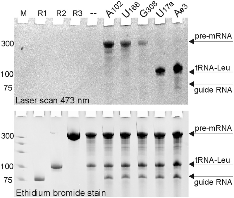 Substrate selectivity of C/D RNP-directed labeling of RNA. The assay was performed as in Figure 3 B except that both the tRNA-Leu and rabbit β-globin pre-mRNA substrates were included in the reaction. RNA guides targeting A102, U168 and G308 in the pre-mRNA, and U17a and Ae3 in tRNA-Leu were used as indicated. M, DNA marker; R1, box C/D guide RNA; R2, tRNA-Leu; R3, rabbit β-globin pre-mRNA; '–', control reaction with no guide RNA.