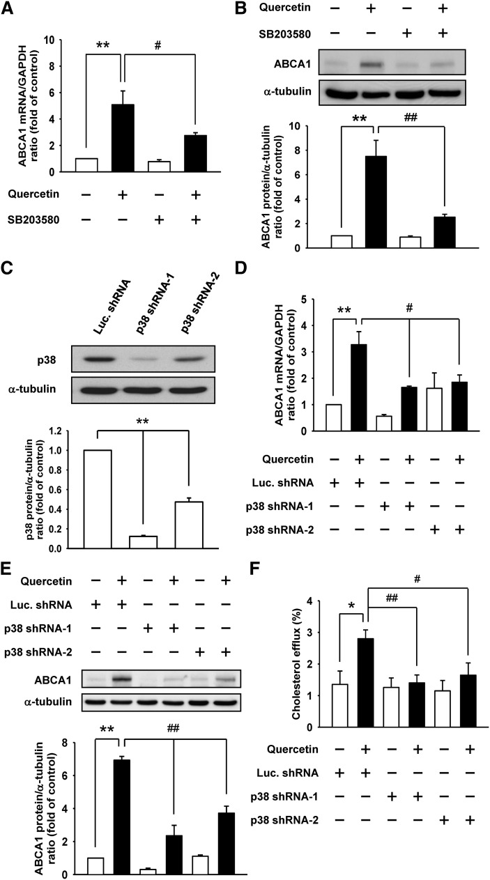 p38 is involved in the quercetin-induced ABCA1 expression and cholesterol efflux. RAW264.7 macrophages were pretreated with 20 μM SB203580 (p38 inhibitor), and then treated with 100 μM quercetin. A: The ABCA1 mRNA levels were measured by quantitative real-time PCR and normalized to GAPDH. B: The ABCA1 protein levels were detected by Western blot analysis and α-tubulin was utilized as a loading control. The normalized level of mRNA or protein from cells without quercetin treatment was set as 1. RAW264.7 macrophages were infected with lentivirus expressing p38 shRNA-1 or p38 shRNA-2 to confirm the effects of p38 on quercetin-induced ABCA1 expression and cholesterol efflux. Luciferase shRNA (Luc. shRNA) was used as a control shRNA. C: The knockdown efficiency of p38 was checked by Western blot analysis. D, E: The effect of p38 knockdown on quercetin-induced ABCA1 mRNA (D) and protein (E) expression was examined by quantitative real-time PCR and Western blot analysis, respectively. The normalized level of mRNA or protein from parental cells without quercetin treatment was given as 1. F: Cholesterol efflux from p38 knockdown cells to media was measured in the presence of 10 μg/ml apoAI. Cholesterol efflux was expressed as the percentage of radioactivity in the medium relative to the total radioactivity (medium and cells). Values are mean ± SEM (n = 3–6). * P