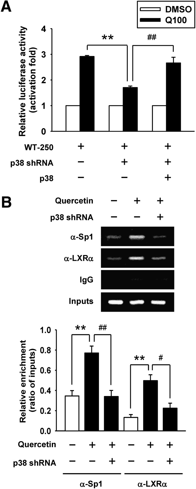 Effect of p38 knockdown by shRNA on the attenuation of Sp1 and LXRα binding to the ABCA1 promoter. A: Parental cells or p38 knockdown cells were transiently cotransfected with 0.5 μg of WT-250 construct, 0.5 μg of pRcCMV vector, and 0.5 μg of pCMV β-galactosidase plasmid. For p38 overexpression, p38 knockdown cells were transiently cotransfected with 0.5 μg of WT-250 construct, 0.5 μg of pRcCMV-p38 plasmid, and 0.5 μg of pCMV β-galactosidase plasmid. After transfection, cells were treated with 100 μM quercetin (Q100) for 24 h. Luciferase activity was normalized with β-galactosidase activity and expressed as fold changes in luciferase activity compared with respective control groups. The level of luciferase activity without quercetin treatment was given the value of 1. WT-250, −250/−1 region of ABCA1 promoter. B: ChIP assays were performed to observe the binding of Sp1 and LXRα to the ABCA1 promoter in p38 knockdown cells as described in Materials and Methods. Nonimmune IgG was used as the negative control. The results of ChIP assays were evaluated by PCR and gel electrophoresis. Values are quantified by densitometer and expressed as ratio relative to inputs. Bars are mean ± SEM (n = 3). ** P