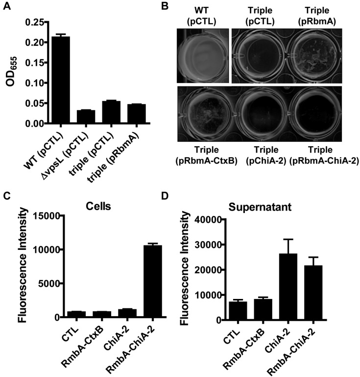 A V. cholerae Δ bap1 Δ rbmA Δ rbmC triple mutant does not make a biofilm but can recruit the chitinase activity of RbmA–ChiA-2–FLAG to the cell surface. (A and B) Quantification of biofilms formed by wild-type V. cholerae (WT), an exopolysaccharide mutant (ΔvpsL), and a Δ bap1 Δ rbmA Δ rbmC mutant (triple) carrying an empty vector (pCTL) or a vector encoding RbmA (pRbmA) (A) and the pellicle formed by wild-type V. cholerae (WT) or the Δ bap1 Δ rbmA Δ rbmC triple mutant carrying either an empty vector (pCTL) or plasmids encoding RbmA-FLAG (pRbmA), RbmA-CtxB (pRbmA-CtxB), ChiA-2–FLAG (pChiA-2), or RbmA–ChiA-2–FLAG (pRbmA–ChiA-2) (B). (C and D) Chitinase activity in the cellular fraction (C) and supernatants (D) of V. cholerae Δ bap1 Δ rbmA Δ rbmC mutant carrying an empty vector or a plasmid encoding RbmA-CtxB, ChiA-2–FLAG, or RbmA–ChiA-2–FLAG. Chitinase activity in the cellular fraction of the mutant expressing RbmA–ChiA-2–FLAG was significantly different from those in strains expressing all other recombinant proteins ( P