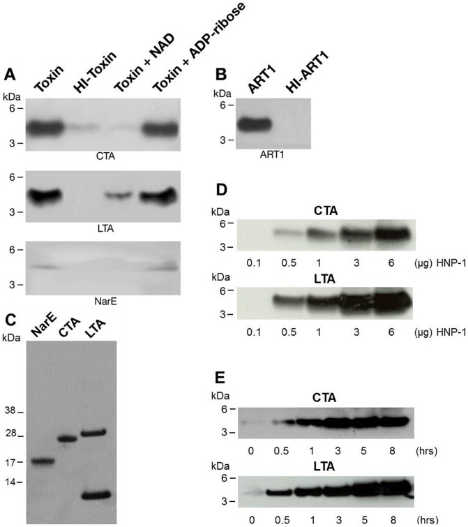 Modification of HNP-1 by selected ADP-ribosyltransferases. ( A ) HNP-1 is ADP-ribosylated by CTA and LTA but only weakly by NarE. HNP-1 (3 µg, 43.56 µM) was incubated with CTA (2.5 U), LTA (8.9 U) or NarE (2 U) and 10 µM of biotin-NAD in 50 mM potassium phosphate buffer, pH 7.5, at 30°C for 1 h (Toxin). The same reactions were performed with heat-inactivated toxins (HI-Toxin), in the presence of 2 mM NAD (Toxin + NAD), or 2 mM ADP-ribose (Toxin + ADP-ribose). The ADP-ribosylated peptides were resolved by SDS-PAGE in a 10% NuPAGE gel, using MES as running buffer and transferred to nitrocellulose. After blocking with 5% BSA in PBS containing 0.05% Tween-20 (PBS-T) for 1 h, the blot was incubated with streptavidin-HRP conjugated (1∶10000 dilution) for 1 h at RT in the same buffer. The biotin-ADP-ribose labeled bands were visualized by chemiluminescence. ( B ) ART1 ADP-ribosylated HNP-1. HNP-1 (3 µg, 43.56 µM) was incubated with ART1 (6.8 U) and 10 µM of biotin-NAD in 50 mM potassium phosphate, pH 7.5 at 30°C for 1 h (ART1). A control reaction with heat-inactivated ART1 is also shown (HI-ART1). ( C ) SDS-PAGE analysis of the purification grade of 2 µg each of CTA, LTA and NarE. ( D ) HNP-1 is ADP-ribosylated in a dose and response dependent manner by CTA and LTA. HNP-1 at the concentration shown in the Figure was incubated with CTA (2.5 U), or LTA (8.9 U) and 10 µM of biotin-NAD in 50 mM potassium phosphate buffer, pH 7.5, at 30°C for 1 h. ( E ) HNP-1 is ADP-ribosylated in time dependent fashion. HNP-1 (3 µg) was incubated with CTA (1.25 U) or LTA (4.45 U) using the same conditions above described for the times of incubation indicated in the Figure. Molecular markers are on the left. Data shown are representative of several experiments performed in the same conditions.