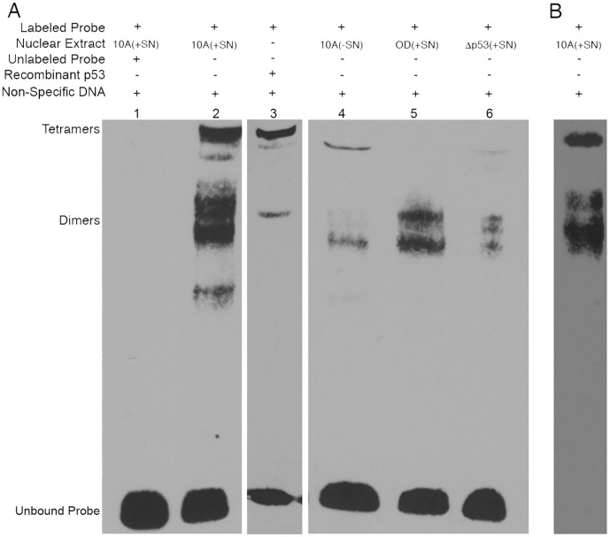 Analysis of p53 binding to head-to-tail response element in cyclin B promoter using electrophoretic mobility shift assays. A , MCF10A, MCF10A/OD, and MCF10A/Δp53 cell lines were incubated with 10 ng/ml SN38 for 24 hours (+SN) or were left untreated (–SN). Binding reactions were prepared by incubating nuclear extracts or recombinant p53 with a biotin-labeled probe corresponding to the head-to-tail response element in the cyclin B promoter, in the presence (+) or absence (−) of a 200-fold molar excess of specific DNA (unlabeled probe). All binding reactions were carried out in the presence of a 100-fold molar excess of unlabeled non-specific DNA. Complexes were separated on 4% native polyacrylamide gel electrophoresis, transferred to positively charged nylon membrane, and visualized using a <t>streptavidin-horse</t> radish peroxidase conjugate. B , A parallel gel was transferred to nitrocellulose membrane and immunoblotted with p53-specific antibodies.