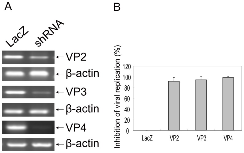shRNAs targeting viral gene and inhibiting replication of FMDV in BHK-21 cells. BHK-21 cells stable expressing shRNA were cultured in 12-well plates in four replicates, each well inoculated with 100 TCID 50 of the FMDV ASIA1/YS/CHA/05 strain. 48 hrs after FMDV inoculation, the cells and virus were collected, and mRNA expression of viral genes was determined by RT-PCR, β-actin as control (A), and FMDV viral replication was determined by TCID 50 (B). The results from three independent experiments in quadruplicate were presented as 1 minus a percentage of average TCID 50 in treated cells to that in LacZ shRNA expressed control cells± one standard deviation.