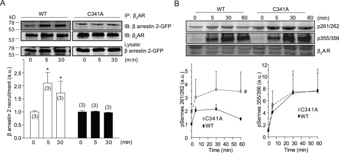 Palmitoylation of cysteine 341 of β 2 AR is required for agonist-induced recruitment of β arrestin 2, but not receptor phosphorylation by PKA and GRK. β 1 β 2 AR-KO cardiomyocytes expressing flag-β 2 ARs and β arrestin 2-GFP were serum-starved for 30 minutes before stimulation with 10 µM of isoproterenol as indicated. (A) Cell lysates were incubated with anti-flag M2 beads to immunoprecipitate flag-β 2 ARs. The bound proteins were detected in Western blot by anti-flag and anti-GFP antibodies. *, p