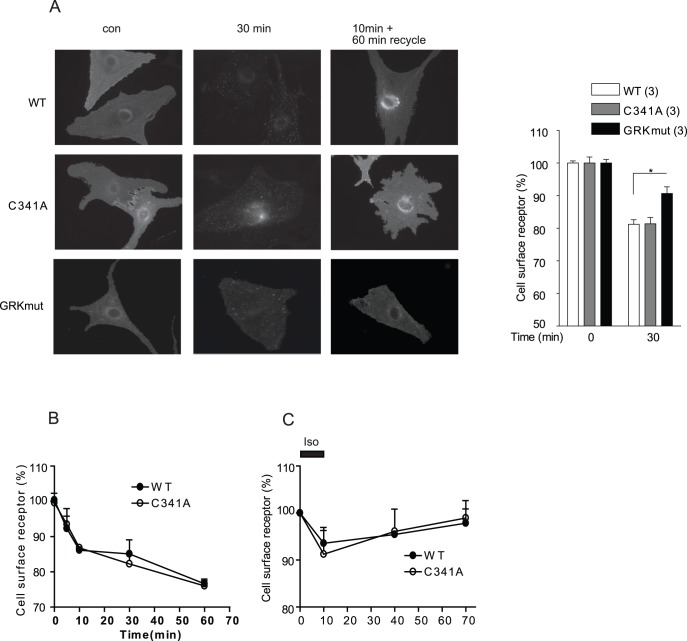 Mutation of palmitoylation site does not inhibit agonist-induced β 2 AR trafficking. A) β 1 β 2 AR-KO cardiomyocytes expressing wild type or mutant flag-β 2 ARs were stimulated with 10 µM isoproterenol to examine receptor internalization or followed by agonist removal to examine receptor recycling. Receptors were stained by anti-flag antibody M1 and Alex 488-conjugated goat-anti-mouse secondary antibody. Maximal internalization of different flag-β 2 ARs in β 1 β 2 AR-KO cardiomyocytes at 30 minute of stimulation was plotted in bar graph. Receptors remaining on the cell surface after internalization (B and D) or recycling (C) were quantified using Alex 488-conjugated flag antibody labeling. Quantitative measurements of cell surface receptor were average from at least three different experiments. *, p
