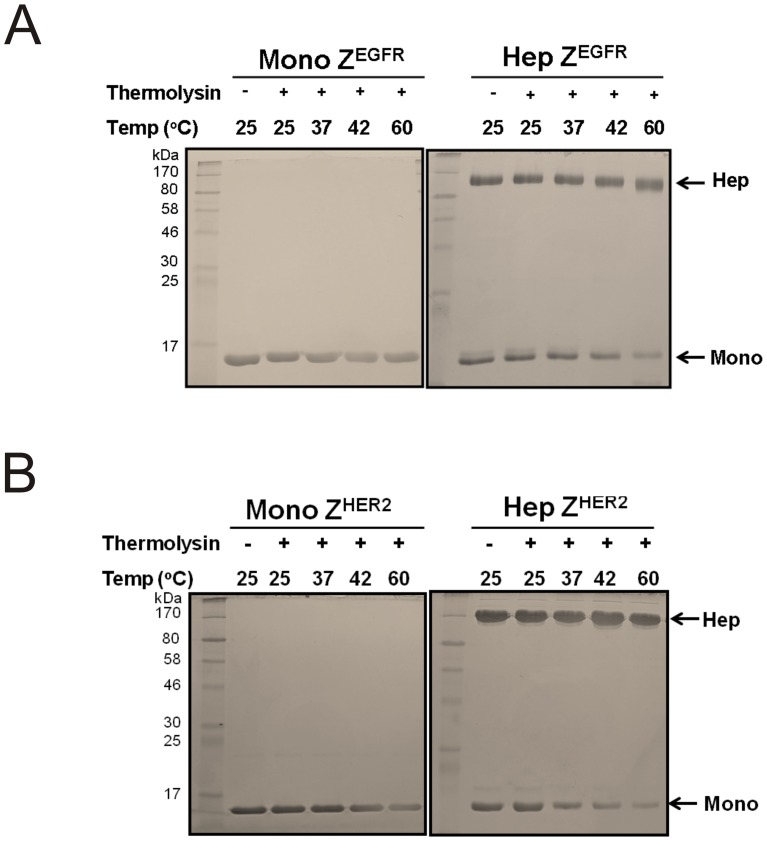 Analysis of the protease resistance of the monomer and the heptamer by thermolysin. (A) About 5 µg of monomeric and heptameric Z EGFR and (B) monomeric and heptameric Z HER2 targeting ligands were incubated with 100 ng of thermolysin at different temperatures for 20 min. After incubation, reaction was stopped by adding SDS sample buffer and each reaction mixture was separated on a 10% SDS-PAGE to examine protein degradation.