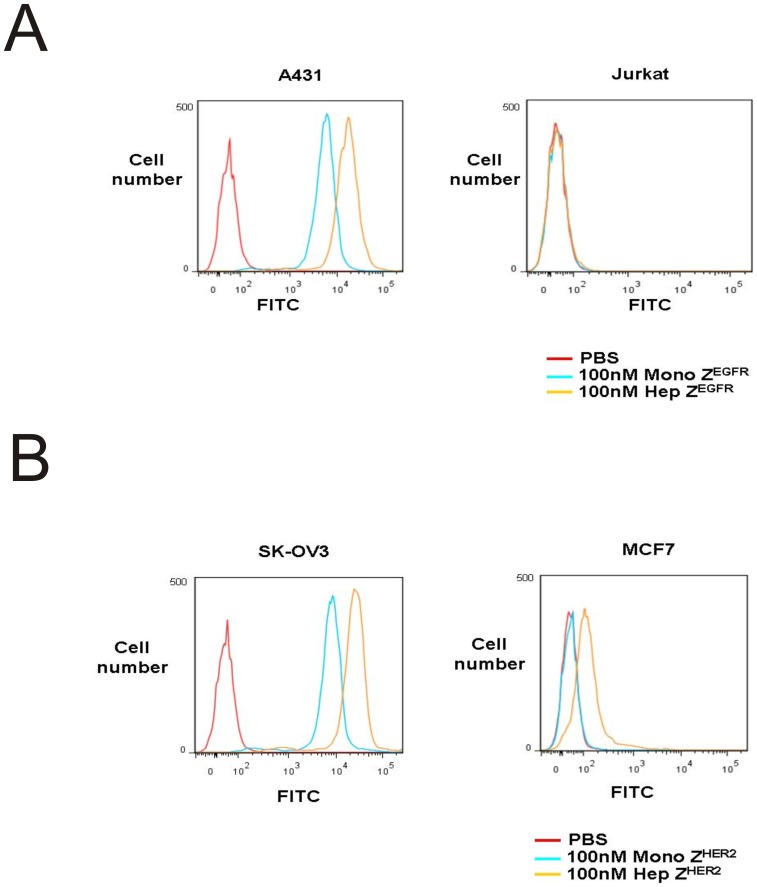 Cell binding analysis by flow cytometry. (A) 100 nM FITC-monomeric and heptameric Z EGFR ligands were used for labeling of EGFR positive A431 and negative Jurkat cells, and analyzed by flow cytometry. Cells incubated with PBS were served as negative control. (B) 100 nM FITC-monomeric and heptameric Z HER2 ligands were used for labeling of HER2 positive SK-OV3 and HER2 low expressing MCF7 cells, and analyzed by flow cytometry. Cells incubated with PBS were served as negative control.