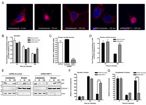 Prolonged nuclear p65 translocation after TNF-α stimulation observed in neuronal cells with knockdown of RNF11. (A) SH-SY5Y cell lines (untransduced, small hairpin RNA (shRNA)-RNF11, shRNA-Scramble) were stimulated with TNF-α for 0, 30, 60 or 120 minutes. Cells were immunostained for p65 (red) and nuclear DNA (Hoechst 333258, blue). Representative images obtained at 0, 30 and 120 minutes after stimulation are shown. (B) Cells were analyzed for overlap of p65-positive and Hoechst 333258-positive pixels. The fold change in percentage overlap of p65- and Hoechst 333258-positive pixels was calculated relative to unstimulated conditions. (C) Murine primary cortical neurons were treated with cytosine arabinoside and transduced with lentiviruses containing shRNA targeted against RNF11 (shRNA-RNF11 neurons) or scramble shRNA sequence (shRNA-Scramble neurons). Quantitative RT-PCR (qRT-PCR) was used to measure relative RNF11 mRNA levels. (D) shRNA-RNF11 or shRNA-Scramble neurons were stimulated for 0, 30 or 120 min before being immunostained for p65 and Hoechst 333258. Transduced cells were analyzed for overlap of p65- and Hoechst 333258-positive cells. The fold change in percentage overlap of p65- and Hoechst 333258-positive pixels was calculated relative to unstimulated conditions. (E) shRNA-Scramble and shRNA-RNF11 cells were stimulated for 0, 30 or 120 minutes. Cytoplasmic and nuclear fractions were resolved by SDS-PAGE. (F) ImageJ software was used to quantify the ratio of the densitometry of the p65 bands in the nuclear fractions to the density of histone 1 immunoreactivity. The ratio for each time point was compared relative to the steady-state ratio, which was set at 100%. (G) ImageJ software was used to quantify the ratio of the densitometry of the p65 bands in the cytoplasmic fractions in a manner similar to that described in (F). All p65 colocalization values are means ± SEM of triplicate experiments. qRT-PCR values are expressed as mean comparative cycle threshold
