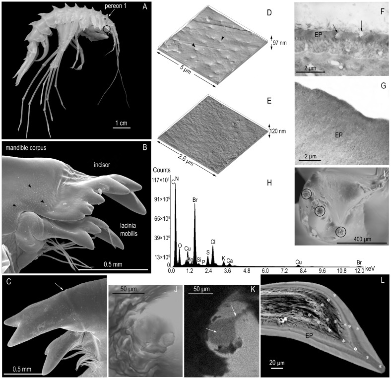 Mandible structure and elemental spectrum of the tooth area. ( A ) Acanthogammarus grewingkii, external view. The star indicates the centrolateral part of P1 where the AFM and TEM images were taken and XEPMA measurements of elemental composition were made; the circle indicates the location of MD. ( B ) The distal part of the left MD (SEM). Arrowheads indicate pores. ( C ) The first IN teeth on the left MD (SEM). The arrow indicates the boundary between the cutting edge and corpus of MD. ( D ) The cuticular surface of P1 (AFM). Arrowheads indicate pores. ( E ) The surface of an IN tooth with signs of wear (AFM). ( F ) An ultrathin section through the EP of P1 (TEM). Arrows indicate pores. ( G ) An ultrathin section through the external EP of an IN tooth (TEM). ( H ) X-Ray elemental spectrum of the mapped IN tooth area (SEM-EDS). ( I ) Apical parts of IN teeth on the right MD, top view. Circles indicate Br-depleted areas (SEM-EDS). ( J ) The apical part of IN tooth with traces of wearing, top view (SEM). ( K ) X-Ray map of Br distribution in the apical part of an IN tooth. Arrows indicate Br-depleted areas (SEM-EDS). ( L ) The layered structure of EP in a section through the IN tooth apex (image in back-scattered electrons in a Superprobe JXA-8200 scanning electron microscope). Stars indicate points of elemental composition measurements.