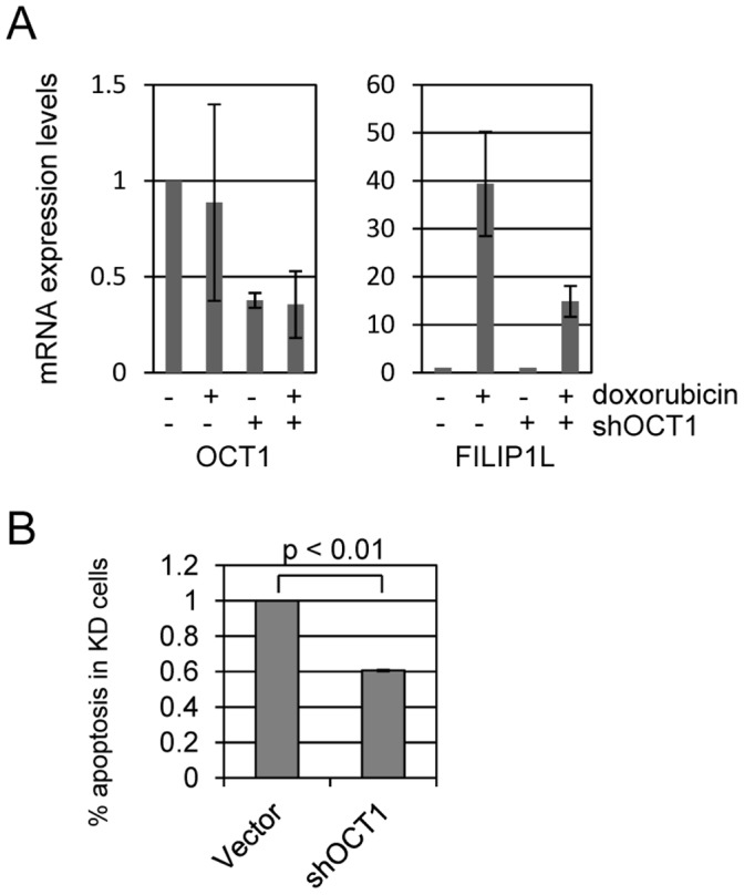 The transcription factor OCT1 mediates doxorubicin induced FILIP1L expression and apoptosis. OCT1, also called POU2F1 (POU domain, class 2, transcription factor 1), is a transcription factor that plays a role in the DNA damage response. We identified potential OCT1 binding sites in the FILIP1L promoter and tested if OCT1 is involved in Doxorubicin induced FILIP1L expression and apoptosis. (A) We targeted Oct1 for shRNA degradation in U2OS cells and used qPCR to verify 60% knockdown of target mRNA. Control and shOct1 cells were treated with 200 ng/ml doxorubicin and mRNA harvested 24 hours later for qPCR analysis. We determined that Oct1 mRNA levels are not affected by doxorubicin treatment. However, FILIP1L induction by doxorubicin is markedly reduced (∼65%) in shOct1 cells compared to control. (B) Control and shOct1 cells were treated with 400 ng/ml doxorubicin and measured for apoptosis at 24 hours. We found that Oct1 knockdown cells displayed 50% reduced doxorubicin induced apoptosis compared to control cells.