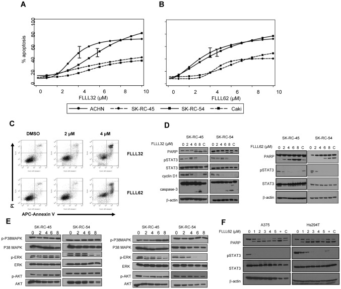 FLLL32 and FLLL62 induce apoptosis in human RCC cell lines. Annexin V/propidium iodide (Ann V/PI) staining of human RCC lines (Caki, ACHN, SK-RC-45, SK-RC-54) following a continuous 48 hour treatment with various doses of (A) FLLL32 or (B) FLLL62. Data were derived from at least three independent experiments. 95% confidence bounds are shown for the absolute IC 50 estimates. (C) Representative flow cytometric analysis of apoptosis in human ACHN cells following a 48 hour treatment with DMSO (vehicle), FLLL32 or FLLL62. Inhibition of STAT3 phosphorylation (at Tyr 705 ) was confirmed via immunoblot following a 24 hour treatment with (D) FLLL32 or FLLL62. Processing of PARP from its native to its cleaved form was also assessed as a marker of apoptosis. The STAT3 regulated gene, Cyclin D1 was also reduced by FLLL32. Membranes were probed for total STAT3 protein and β-actin to control for loading. (E) Immunoblot analysis of ERK, p38 MAPK and AKT phosphorylation in human RCC lines after a 48 hour treatment with FLLL32 or FLLL62. (F) Reduced STAT3-phosphorylation and PARP cleavage in human metastatic A375 and Hs294T melanoma cell lines following a 24 hour treatment with FLLL62.