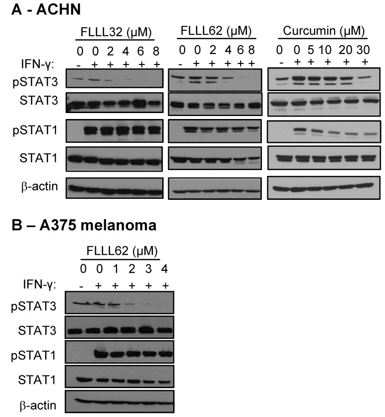IFN-γ-induced signal transduction, in the presence of FLLL32 and FLLL62. (A) Human ACHN RCC cells or (B) A375 melanoma cells were pre-treated for 16 hours with DMSO (negative control), multiple doses of FLLL32, FLLL62, or curcumin and subsequently stimulated with IFN-γ (10 ng/mL) or PBS (vehicle) for 15 minutes. The expression of pSTAT1 and pSTAT3 were evaluated by immunoblot. Membranes were probed for total STAT3 protein, total STAT1 protein and β-actin to control for loading.
