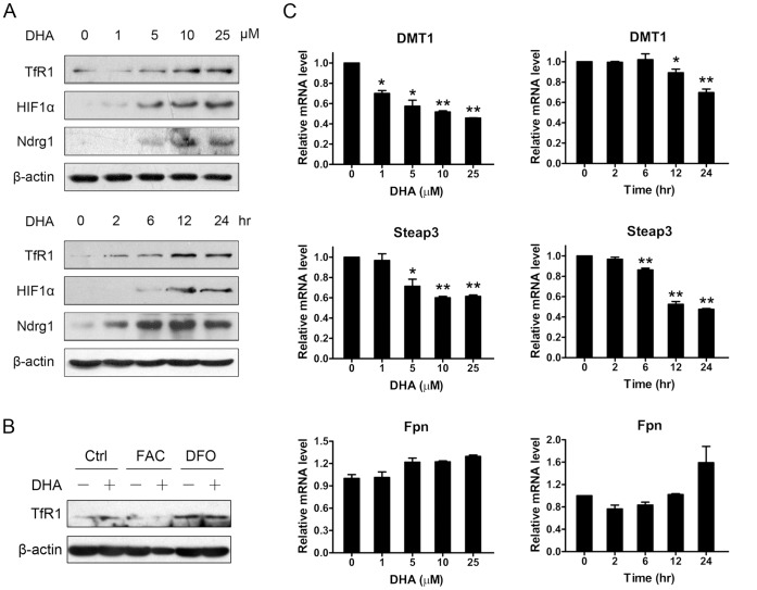 DHA caused iron depletion and weakened iron uptake pathway. (A) HepG2 cells treated with different concentrations of DHA for 24 hours or with 25 µM DHA for different times were harvested. Total proteins were extracted and western blotting was performed. (B) HepG2 cells were pretreated with DFO (250 µM) or FAC (100 µg/ml) or left untreated for 30 min and then DHA (25 µM) were added to further treatment. After 24 hours, cell lysates were prepared and immunoblotted. (C) HepG2 cells were treated as (A) and harvested to extract total RNA. The mRNA levels of endogenous DMT1, Steap3 and Fpn1 were determined by quantitative RT-PCR. *, P