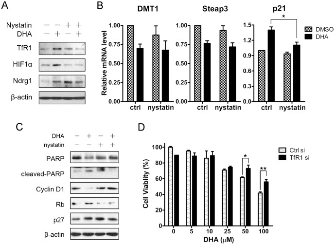 The effects of DHA were partially dependent on TfR1 internalization. (A) HepG2 cells were preincubated with 25 µg/ml nystatin or not for 30 min and treated with 25 µM DHA for another 4 hours. Cells were lysed to western blot assay. (B) HepG2 cells were preincubated with 25 µg/ml nystatin or not for 30 min and treated with 25 µM DHA for another 24 hours. Total RNA was harvested and quantitative RT-PCR was performed. *, P