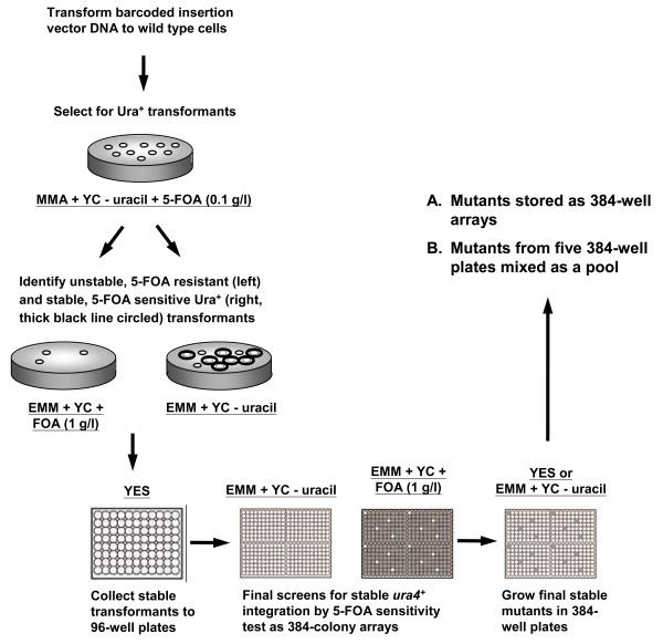 Generation of the barcode-tagged S. pombe insertion mutant library. The linear insertion DNA (Figure 1 B) was transformed into the wild type strain KRP1 to obtain Ura + transformants on minimal medium (MMA) with multiple nutritional supplements except uracil (YC – uracil) and low levels of 5-FOA (0.1 g/l). Transformants were then tested for stable integration by 5-FOA sensitivity. Stable transformants (i.e. 5-FOA sensitive cells) were inoculated in non-selective YES medium in 96-well plates, followed by assembling four such plates on a synthetic medium plate lacking uracil (EMM + YC – uracil) and a similar medium plate that contains uracil and 1 g/l of 5-FOA (EMM + YC + 5-FOA) to generate 384-colony arrays for the second 5-FOA sensitivity test. Unstable transformants found in this second screen were removed before these mutants were stored as 384-well mutant arrays or mixed mutant pools of ~1800 mutants.