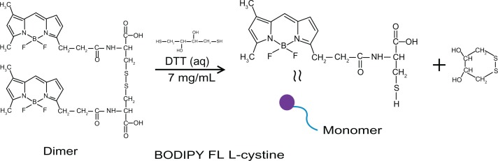 FL L-cystine dissociation to form monomer in presence of dithiothreitol.