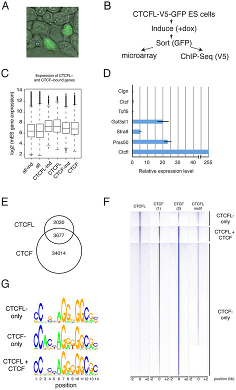 Genome-wide analysis of CTCFL expression in ES cells. A Inducible expression of CTCFL-V5-GFP in ES cells. Notice the nuclear localization of CTCFL-V5-GFP in cells expressing the protein. B Flow chart of experiments. ES cells with a Tet-on inducible expression of a CTCFLV5-GFP transgene were sorted for GFP and used for microarray and ChIP-Seq analyses. C CTCFL expression and DNA binding are associated with elevated gene expression levels. We plotted gene expression levels, as determined by microarray analysis of induced ( ind ) or non-induced ES cells, for all genes ( all ), or those bound by CTCF, or CTCFL, to the respective promoter region (−2 k to +1 kb around TSS). Differences are highly significant ( p -value CTCF-ind versus CTCFL-ind: 5.1 × e -14 ; p -value CTCF versus CTCFL: 5.9 × e -13 ). D Transcript analyses in ES cells expressing CTCFL-V5-GFP. Real-time RT-PCR expression analyses of CTCFL-V5-GFP-induced and GFP-sorted ES cells, relative to non-induced ES cells, for the indicated genes, referenced to Cdk2 expression. E Venn diagram of DNA-binding sites for CTCFL and CTCF. F Clustered heatmap representation of three classes of CTCF/CTCFL-binding sites. Shown are the binding profiles of CTCFL and CTCF ( 1 : our own data; 2 : [ 7 ]) across all CTCF/CTCFL-binding sites identified in mES cells. Sites are grouped into CTCFL-only, CTCF-only, and combined CTCFL and CTCF sites. Within the three classes, data sets were sorted decreasingly from top to bottom for average binding across the interval from 2 kb to +2 kb around the identified binding peak center positions. Additionally the occurrences of predicted CTCFL motifs within these intervals are plotted. G Motif comparison of CTCF and CTCFL. DNA-binding motif for CTCFL-only ( top panel ), CTCF + CTCFL ( middle panel ) and CTCF-only binding sites ( bottom panel ).