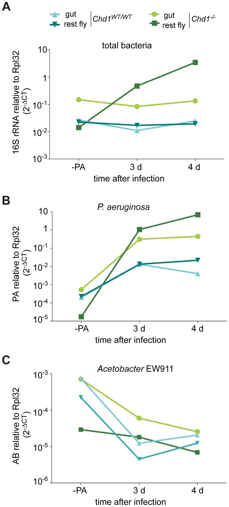 Bacterial load is elevated in Chd1 -mutant flies. (A) Bacterial load was analyzed in isolated guts and in whole flies from which intestines had been removed. qPCR was performed with primers targeting 16S rDNA in the absence of infection (−PA) as well as 3 days and 4 days after oral infection with P. aeruginosa. (B) 251659264 P. aeruginosa titers are strongly increased in Chd1 −/− flies after infection. qPCR as in (A) with primers specific for P. aeruginosa . (C) Analysis of the gut-specific bacterium Acetobacter EW911. qPCR as in (A) with primers specific for Acetobacter EW911 . Relative differences of bacterial genes and the fly Rpl32 gene are expressed as 2 −ΔCT values. Values represent mean +/− SD of three independent experiments. Note that SD values are too small to show in the graph.