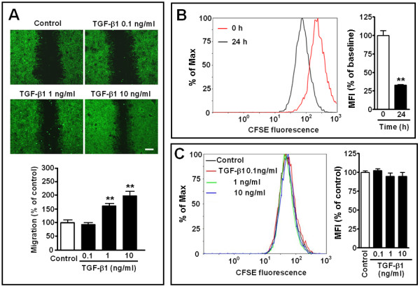 Effect of TGF-β1 on astrocyte migration and proliferation. ( A ) Photomicrographs showing migration after treatment with TGF-β1 (0.1 to 10 ng/ml) for 24 h. Scale bar, 400 μm. ( B, C ) Fluorescence intensity was determined by fluorescence activated cell sorting after CFSE labeling at 0 (baseline) and 24 h. Mean fluorescence intensity (MFI) at 24 h reduced compared with baseline (B), but did not change 24 h after treatment with TGF-β1 (0.1, 1 and 10 ng/ml, C). Data are reported as mean ± S.E.M.; n = 8 (A), 3 (B) or 9 (C); ** P