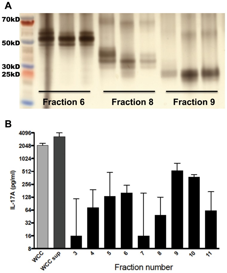 Size separation of fractions and stimulation of splenocytes. A. SDS-PAGE of fractions was performed and gel was silver-stained; shown here are the electrophoretic patterns of three fractions eluted into the same chamber during different transverse elutions. B. Results from stimulation of splenocytes from WCC immunized mice (n = 6) with equal concentrations of each fraction. Supernatants were collected after 3 days of incubation and IL-17A concentration in the supernatant was measured by ELISA. IL-17A values are shown here, normalized to the DMEM-stimulated response of each animal. Bars represent medians with interquartile range. WCC: chloroform-inactivated pneumococcal whole cell antigen, 10 µg protein/ml; WCCsup: soluble fraction of WCC, 7 µg protein/ml.