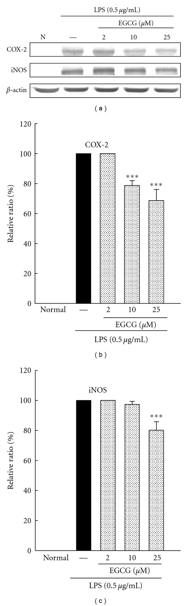 Effects of EGCG (2, 10, and 25 μ M) on expression of COX-2 and iNOS in BV-2 cells treated with lipopolysaccharide (LPS, 0.5 μ g/mL) for 24 h. Cultures were pretreated with EGCG for 1 h before the addition of LPS treatment. Bars represent the mean ± SE from three independent experiments. Densitometry analyses are presented as the relative ratio of protein/ β -actin protein and are represented as percentages of the LPS only group. *** P