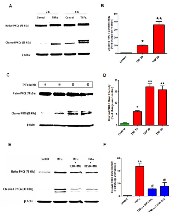 Tumor necrosis factor (TNF) induced proteolytic cleavage of protein kinase Cδ (PKCδ) in dopaminergic N27 cells. (A) Time-dependent PKCδ proteolytic activation. N27 dopaminergic cells were treated with recombinant TNF (30 ng/ml) for 3 h and 6 h and lysates were probed by Western blotting with an antibody to the C-terminus that detects both the native protein (78 kDa) and the proteolytically cleaved catalytic fragment (38 kDa). TNF treatment caused a time-dependent increase in PKCδ cleavage, which peaked at 6 h. (B) Band intensities for cleaved PKCδ from three blots quantified using densitometric analysis and normalized to β-actin. (C) Dose-dependent proteolytic activation of PKCδ by TNF treatment. N27 cells were treated with increasing doses of TNF (0 to 60 ng/ml) for 6 h and lysates were probed for PKCδ by Western blotting. TNF induced a dose dependent increase in PKCδ cleavage, starting at 10 ng/ml. (D) Band intensities for cleaved PKCδ from three blots were quantified using densitometric analysis and normalized to β-actin. (E) Caspase-3 and caspase-8 dependent proteolytic cleavage of PKCδ. N27 cells were treated with 30 ng/ml of TNF alone for 6 h or in the presence of peptide inhibitors (25 μM) of caspase-8 (Ac-IETD-fmk) and caspase-3 (Ac-DEVD-fmk). Lysates were probed for PKCδ proteolytic cleavage by Western blotting. Proteolytic activation of PKCδ by TNF treatment was reduced by inhibition of caspase-3 and caspase-8. (F) Band intensities for cleaved PKCδ from three blots were quantified using densitometric analysis and normalized to β-actin. Data is expressed as a fold change over control. * ( P