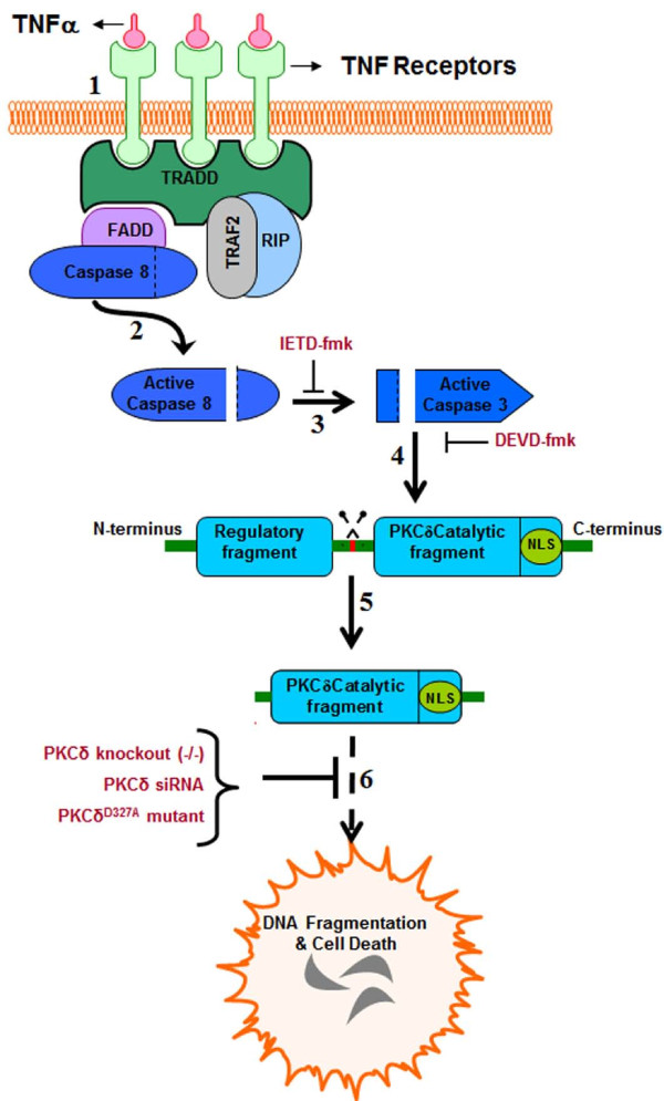 Schematic of protein kinase Cδ (PKCδ) activation by proteolytic cleavage downstream of tumor necrosis factor (TNF) signaling in dopaminergic neurons. (1) Sustained TNF signaling leads to <t>caspase-8</t> activation, presumably by autoproteolytic cleavage at the receptor complex (2) . Active caspase-8 leads to downstream activation of caspase-3, which can be blocked by the caspase-8 inhibitor IETD-fmk (3) . Caspase-3 activates PKCδ by proteolytic cleavage (4) at the hinge region (shown in red), releasing the catalytic fragment and causing constitutive activation of the kinase (5) . The constitutively active PKCδ catalytic fragment mediates proapoptotic signaling by phosphorylation of its downstream substrates, resulting in DNA fragmentation and dopaminergic cell death (6) . Blocking the PKCδ signaling pathway using siRNA, targeted gene knockout or a caspase-3 cleavage-resistant mutant can protect against dopaminergic cell death induced by TNF toxicity.