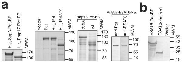 Modification of the Pet-AT secretion platform. (A) SapA, Pmp17, Pet and a Pet derivative (PetΔD1) lacking the serine protease domain were modified to add a His 6 -Tag to the N-terminus of the secreted passenger domain. The His-tagged Pmp17 protein was expressed in an E. coli TOP10 dsbA strain and the rest of proteins were produced in the wild-type E. coli TOP10. In all cases the proteins are well secreted. The cysteine-containing Pmp17 was expressed in E. coli TOP10 (wt) and a dsbA - derivative. A full length protein is present in the E. coli TOP10 dsbA - derivative but not the E. coli TOP10 parent strain. Break down products are apparent and correspond to proteins with a truncated N-terminus. A multicomponent construct was created by fusing DNA encoding Ag85 to ESAT-6 and Pet (see Figure 1A) to encode a single polypeptide chain contiguous with the AT-translocation unit. This latter chimera was detected in the culture supernatant with antibodies directed at Pet and ESAT-6. Equivalent amounts of culture supernatant fractions were analysed by SDS-PAGE. (B) Secretion of heterologous fusions from S. Typhimurium. Culture medium from S. enterica SL1344 strains expressing ESAT6-Pet-BP and ESAT6-PetΔ*6 (see Figure 4 ) were harvested and analysed by SDS-PAGE and detected by immunoblotting with a polyclonal antibody to ESAT-6. In all SDS-PAGE gels the positions of the molecular weight markers (MWM, kDa) are depicted at the right side of the panel. The equivalent OM fractions demonstrating the presence of the cleaved β-barrel are shown in Additional file 5 : Figure S4.
