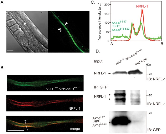 Interaction of AAT-6 with NRFL-1 in vivo . A , Expression of AAT-6 in worms. AAT-6 1−517 ::GFP::AAT-6 518–523 was localized to the luminal surface ( single arrowhead ) but not to the basal side ( double arrowhead ) of the intestinal epithelia. Scale bar, 25 µm. Non-specific fluorescence on gut granules was seen. More than twenty worms were analyzed. B , Co-localization of AAT-6 and NRFL-1. GFP fluorescence from AAT-6 1−517 ::GFP::AAT-6 518–523 ( top ) was co-localized with immunostaining of NRFL-1 by anti-NRFL-1 antibody visualized by Cy3-labeled secondary antibody ( middle ). Bottom image is merged from top and middle images. Confocal images of a representative intestine section (whole worm) are shown. Scale bar: 25 µm. More than five worms were analyzed. C , Intensity profile along the line A–B in the merged image shows an overlapping of the peaks of the NRFL-1and the AAT-6 signal. D , Immunoprecipitation of NRFL-1/AAT-6 complex from worm lysate. The worm lysate was immunoprecipitated with anti-GFP monoclonal antibody (mouse) and immunoblotted using anti-NRFL-1 antibody. Top : input (2.5%). Middle and bottom : immunoprecipitant was immunoblotted using anti-NRFL-1 antibody and anti-GFP antibody (chicken), respectively. In the middle blot, two major bands of NRFL-1 detected ( arrowheads ), probably reflecting partial dephosphorylation during immunoprecipitation process. A representative blot of two separate experiments is shown.