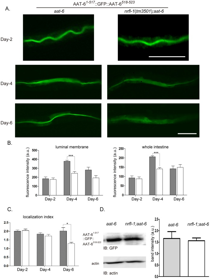 Maintenance of AAT-6 on the intestinal luminal membrane by NRFL-1. A , The localization of AAT-6 1−517 ::GFP::AAT-6 518–523 was compared between aat-6 and nrfl-1 ( tm3501 ); aat-6 genetic backgrounds. Epifluorescence images of the distribution of AAT-6 in the intestine are shown for worms two, four and six days after hatching. In six-day old worm, the membranous localization of AAT-6 decayed in nrfl-1 ( tm3501 ); aat-6 , whereas AAT-6 was retained on the luminal membrane in six days in the presence of NRFL-1 ( aat-6 ). Scale bars: 100 µm. Representative pictures from more than ten worms analyzed for each are shown. B , Fluorescence intensity was measured to quantify the age-dependent regulation. The intensity of the intestinal luminal surface was peaked at day four with significantly stronger signal in aat-6 (gray column) compared with nrfl-1 ( tm3501 ); aat-6 (white column). The intensity at day six did not differ significantly between the strains ( luminal membrane ). C , The fluorescence intensity of the whole intestine showed a similar pattern ( whole intestine ). The localization index, luminal intensity divided by whole intestine intensity, quantifies the membranous localization. The six-day old nrfl-1 ( tm3501 ); aat-6 worm had a significantly lower score, showing age-dependent decay in luminal localization ( localization index ). Gray column, aat-6 . White column, nrfl-1 ( tm3501 ); aat-6 . Values are presented with mean ± S.E. (n = 5). D , Immunoblot and densitometric analysis of AAT-6 1−517 ::GFP::AAT-6 518–523 in six-day old worm. Densitometric analysis followed by anti-GFP antibody immunobloting exhibited no significant difference in band intensity between the genetic backgrounds. A representative blot was presented with actin as a loading control. The bar graph indicates the relative band intensities of the respective sample. Values are presented with mean ± S.E. (n = 4).