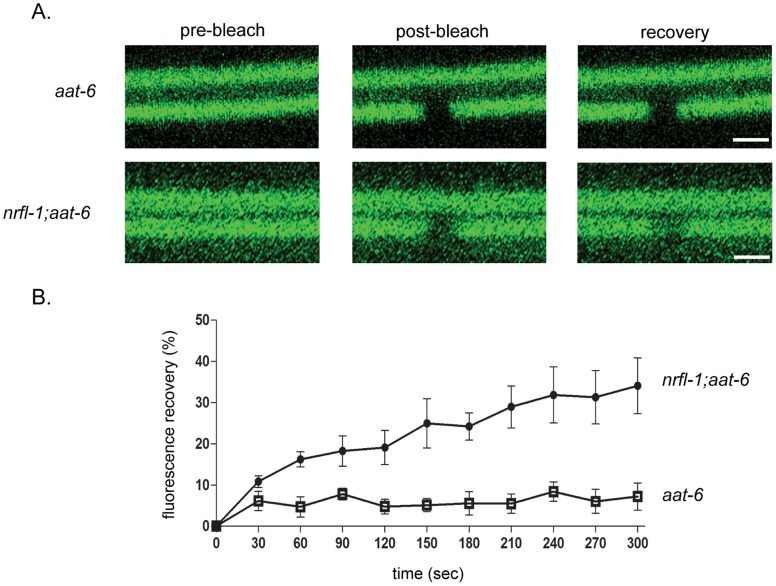 Immobilization of AAT-6 on the intestinal apical membrane by NRFL-1. A , FRAP analysis of the AAT-6 dynamics was performed in 4-day old worms. Confocal images of AAT-6 (AAT-6 1−517 ::GFP::AAT-6 518–523 ) was compared between aat-6 and nrfl-1 ; aat-6 genetic backgrounds. Top pictures indicate representative images prior to photobleaching ( pre-bleach ), immediately after photobleaching ( post-bleach ), and 300 sec after photobleaching ( recovery ). B , Graph depicts the time course of recovery of AAT-6 fluorescence for nrfl-1 ; aat-6 (•) and aat-6 (□). Recovery was measured with the pre-bleach fluorescence intensity being 100% and the post-bleach intensity being 0%. The recovery curves were generated from 5 separate experiments and the values were expressed as mean ± S.E. (n = 5). Scale bars: 2 µm.