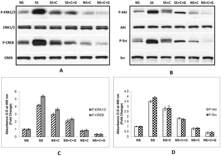Protein expression of p-ERK and p-CREB (A) or p-AKT and p-Src (B) in BxPC-3 xenografts of stress free (NS) and social stress (SS) exposed mice. Western blots (A and B) illustrating induction of p-ERK, p-CREB, p-AKT and p-Src by social stress and inhibition of these responses by celcoxib alone or <t>celecoxib</t> + GABA. Quantitative assessment of these changes at the protein level were determined in the ELISA assays shown in Figure C and D. Induction of all investigated phosphorylated proteins by social stress (SS) was significant ( p