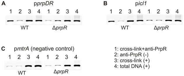PrpR binds the promoter region of prpDC and icl1 genes in intact M. tuberculosis cells. Identification of intracellular PrpR-DNA complex using immunoprecipitation. PrpR-DNA complexes cross-linked with glutaraldehyde were immunoprecipitated with anti-6HisPrpRMt polyclonal antibodies (sample 1). PCR was carried out with the primer pairs, p1129_Fw and p1129_Rv (p prpDR )(A); picl_Fw and picl_Rv (p icl1 )(B); and pmtrA_Fw and pmtrA_Rv (p mtrA , negative control)(C). Negative control (2) consisted of DNA template extracted from the cells subjected to immunoprecipitation, but nucleoprotein complexes were not previously cross-linked. Positives controls (+) were also performed using template obtained from strains subjected only to cross-linking (3) or total DNA extracted from the cells (4).
