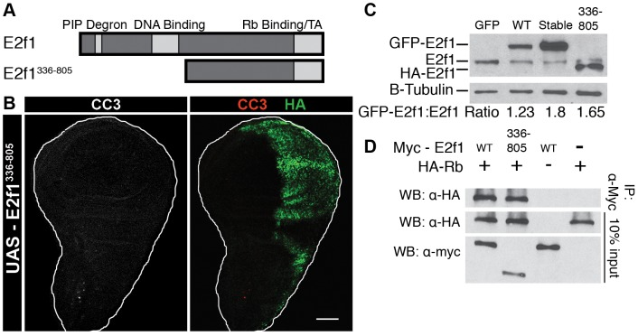 Induction of Apoptosis requires full-length E2f1 Stable . A) Schematic of the E2f1 336–805 mutant protein, which contains an NH 2 -terminal HA tag. B) Detection of apoptosis via Cleaved Caspase-3 (CC3, red) staining of third instar larval wing imaginal discs expressing HA-E2f1 336–805 (anti-HA, green) with en-Gal4. Bar = 50 µm. C) Anti-E2f1 western blot of third instar imaginal wing discs expressing GFP-E2f1, GFP-E2f1 Stable , or HA-E2f1 336–805 . D) Co-immunoprecipitation analysis of Myc-E2f1 and HA-Rbf1 from transiently transfected S2 cells.