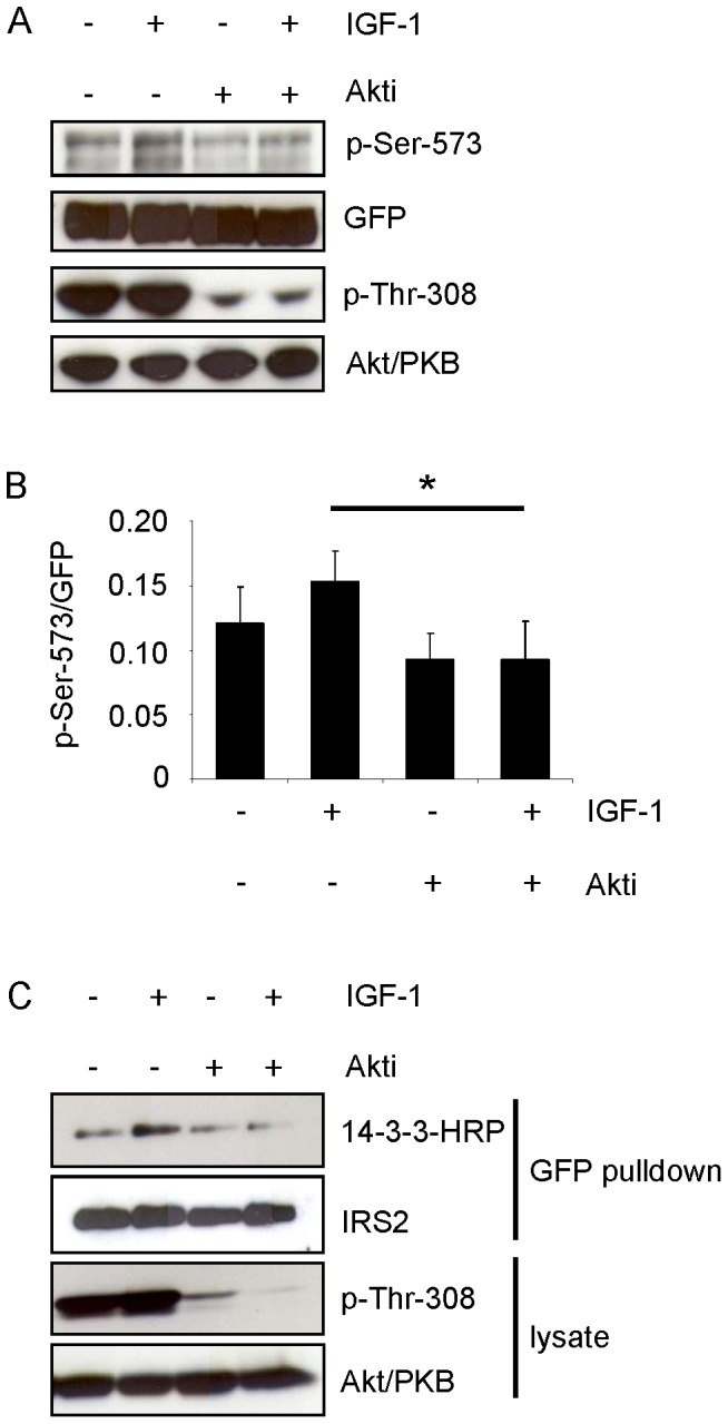 Inhibition of Akt/PKB reduces IGF-1-induced phosphorylation of serine 573 and 14-3-3 binding. A . Flp-In HEK293 cells stably expressing GFP-IRS2 were starved for serum and incubated for 30 min with 50 ng/ml IGF-1 or 1 µM Akti-1/2 alone, or Akti-1/2 preincubation followed IGF-1 stimulation. 100 µg of total protein was separated on 7.5% SDS gels and membranes were probed with p-Ser-573 and p-Thr-308 of Akt/PKB. Membranes were stripped and reprobed with respective antibodies for detection of protein levels. B . Effect of Akt/PKB inhibition on serine 573 phosphorylation was assessed by scanning densitometry of blots and normalization for protein (mean ± SEM; n = 3; *p