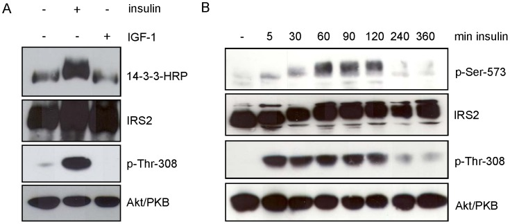 Insulin induces binding of 14-3-3 to endogenous IRS-2 and phosphorylates Ser-573 on IRS-2. A. Fao cells were starved for serum overnight and incubated for 30 min with either 10 nM insulin or 50 ng/ml IGF-1. 250 µg protein was immunoprecipitated with IRS-2 antibody and separated on a 5–15% gradient gel. Overlay assay followed stripping and reprobing with IRS-2 antibody as loading control. Successful stimulation is shown as phosphorylation of p-Thr-308 and corresponding Akt/PKB reblot. B. Fao cells were starved for serum overnight and stimulated with 10 nM insulin for the indicated time points. 100 µg of protein was separated on a 7.5% gel and membranes were probed with specific antibodies against p-Ser-573 of IRS-2 and p-Thr-308 of Akt/PKB. For loading control membranes were stripped and reprobed with protein antibody.