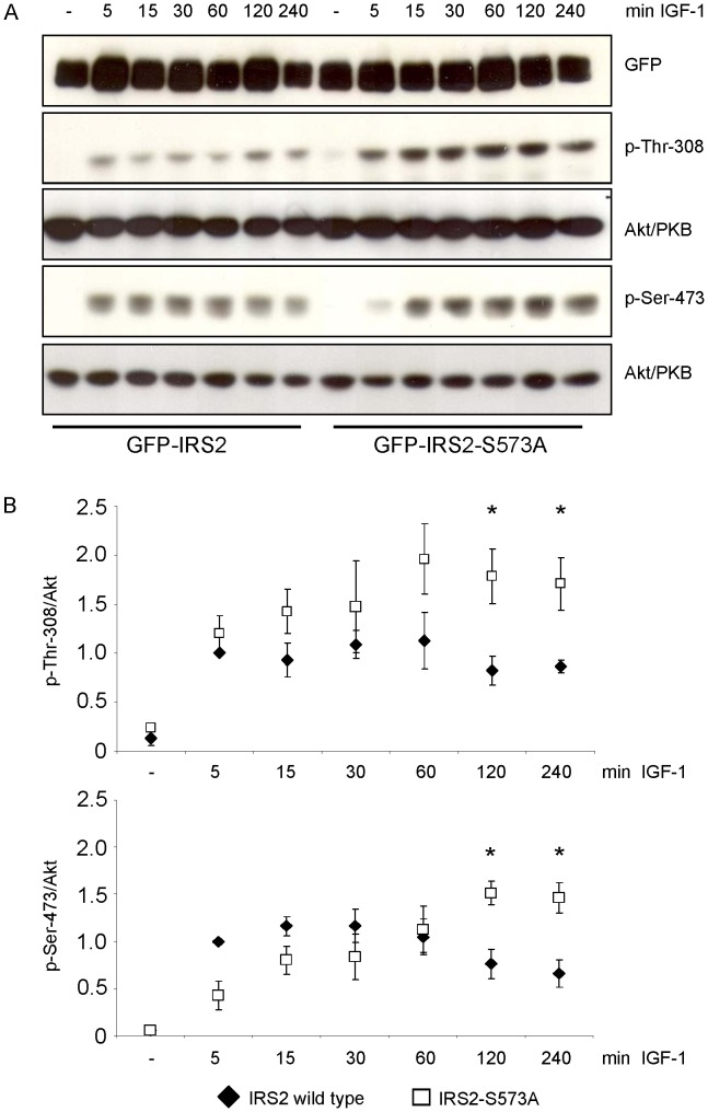 Ser-573 influences phosphorylation of Akt/PKB. A . HEK293 cells transiently expressing GFP-IRS2 or GFP-IRS2-S573A were stimulated with 50 ng/ml IGF-1 for the indicated time points. 40 µg of total protein was separated on 7.5% SDS gels and membranes were incubated with GFP antibody to ensure equal expression levels and with p-Thr-308 and p-Ser-473 antibody respectively. Corresponding Akt/PKB reblots are shown. B . Densitometric analyses of Akt/PKB phosphorylation. Black diamonds represent IRS-2 wild type, white squares IRS2-S573A mutant. Phosphorylation was normalized against total protein and IRS-2 wild type stimulated with IGF-1 for 5 min was set as 1 (mean ± SEM; n = 3; *p
