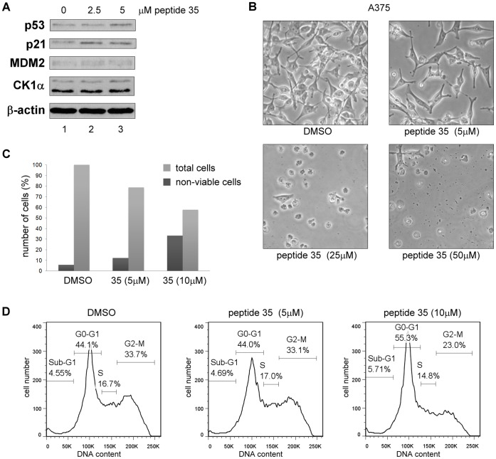 The CK1α peptide derived from its dominant MDM2 binding site triggers G0-G1 arrest and cell death in A375 cells. CK1α peptide 35 was transfected into A375 cells using Nucleofectin reagent and Nucleofector device II. A DMSO control was included. ( A ) Protein levels were assessed 18 hours after peptide transfection by Western blotting. ( B ) Images of cells were captured 16 hours after transfection. ( C ) The number of non-viable cells was counted after treatment using Trypan Blue. Total cells are shown in percent relative to the DMSO control and percent of non-viable cells are expressed relative to each respective total cell count. ( D ) After treatment, the cells were harvested then fixed in ethanol followed by staining with propidium iodide. DNA content was determined by FACS and analyzed with FlowJo7 software.