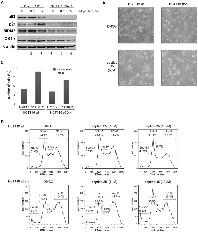 CK1α peptide derived from its dominant MDM2 binding site triggers G0-G1 arrest and cell death in a p53-independent manner. CK1α peptide 35 was transfected into HCT116 cells using Nucleofectin reagent and Nucleofector device II. A DMSO control was included. ( A ) Protein levels were assessed 18 hours after peptide transfection by Western blotting. ( B ) Images of cells were captured 16 hours after transfection. ( C ) The number of non-viable cells was counted after treatment using Trypan Blue. The percentage of non-viable cells is expressed relative to each respective total cell count. ( D ) After treatment, the cells were harvested then fixed in ethanol followed by staining with propidium iodide. DNA content was determined by FACS and analyzed with FlowJo7 software.