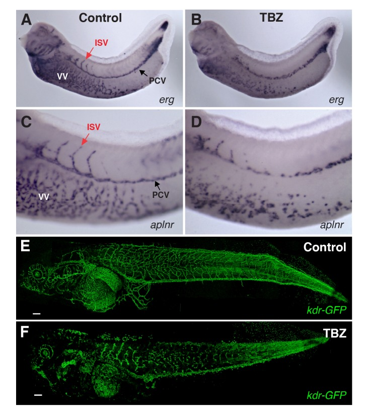 TBZ inhibits angiogenesis in vivo in Xenopus embryos. Formation of Xenopus embryo veins is disrupted, marked by expression of vascular reporter genes (A, B) erg and (C, D) aplnr , contrasting treatment with 1% DMSO control only (A, C) with 1% DMSO, 250 µM TBZ, treated at stage 31 and imaged at stages 35–36 (B, D). PCV, posterior cardinal vein; ISV, intersomitic vein; VV, vitellin veins. Similarly, TBZ disrupts vasculature imaged within a living Xenopus embryo and visualized by vascular specific GFP in kdr:GFP frogs from [19] , contrasting the vasculature of stage 46 animals treated from stage 41 with the 1% DMSO control (E) or 1% DMSO, 250 µM TBZ (F). Scale bar, 200 µm.