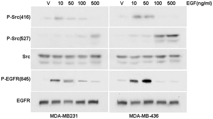 Different concentrations of EGF induce Src phosphorylation at distinct residues. Western blot analysis of the effects of different concentrations of EGF on the phosphorylation levels of EGFR-Y845, Src-Y416 and Src-Y527 in MDA-MB-231 and MDA-MB-436 cells.