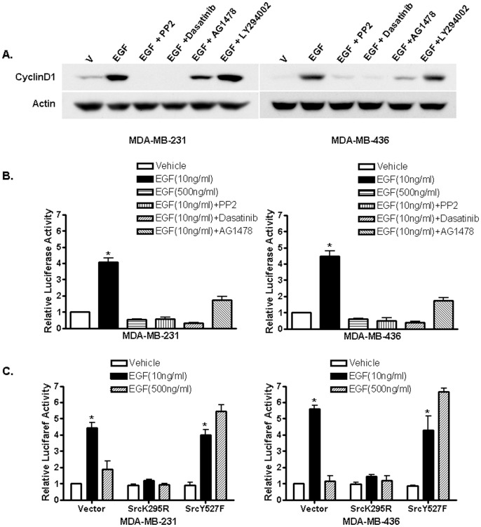 Src is involved in EGF induction of cyclin D1. (A). Western blot analysis of cyclin D1 expression in MDA-MB-231 and -436 cells. Cells were treated with vehicle (PBS) and EGF alone or together with the Src inhibitors PP2 and Dasatinib, the EGFR inhibitor AG1478 and PI3K inhibitor LY294002. Cell lysates were analyzed with anti-cyclin D1 antibody and anti-actin antibody was used to ensure equal loading. The experiment was repeated three times, and the representative results are shown. (B). Src inhibitors inhibit EGF induction of cyclin D1 promoter activity. ER-negative breast cancer cells were transfected with the luciferase reported plasmid cyclin D1 pl-963 that containing a luciferase gene driven by the cyclin D1 promoter. Transfected cells were treated with vehicle (PBS), 10 ng/ml or 500 ng/ml of EGF and 10 ng/ml EGF plus different inhibitors. The luciferase activities were assayed and normalized using a cytomegalovirus-driven Renilla luciferase plasmid. Columns: means of the relative luciferase activity in cells treated with vehicle that is arbitrarily set as 1.0 from four independent experiments; bars, SE. *, P