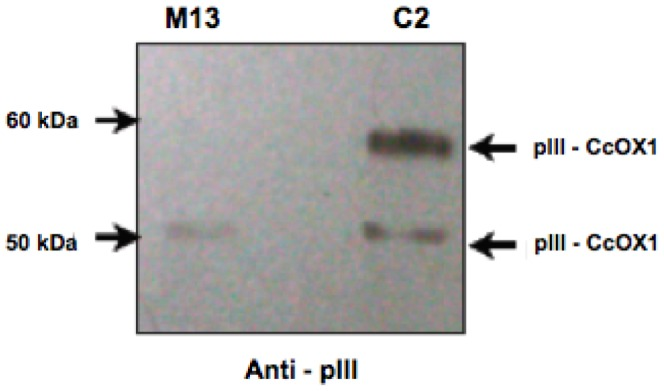 Western blot analysis of recombinant C2 phage expressing the fragment of CcOX1. 10 11 phage particles diluted in loading buffer were resolved on 4–12% NuPAGE Bis-Tris gel (Invitrogen) at 200 V for 45 min at room temperature and immunoblotted for detection with anti-pIII antibody. Wild-type M13 phage was used as a control. Migration of the molecular mass standards as well as pIII and pIII–CcOX1 fusion protein are indicated by arrowheads.
